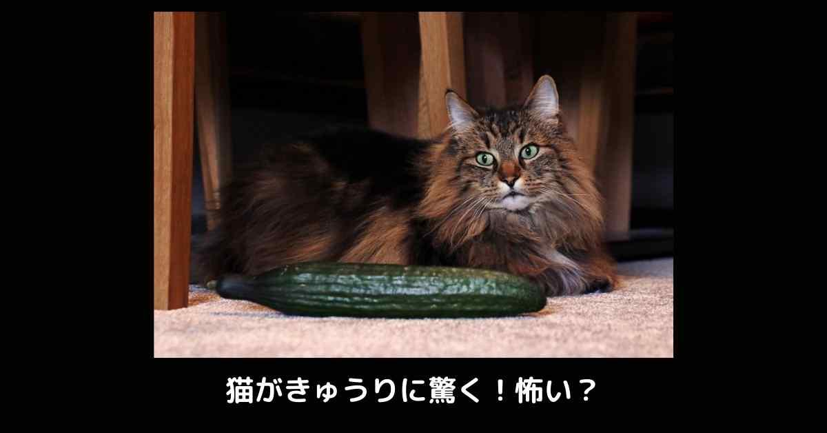 猫 きゅうり