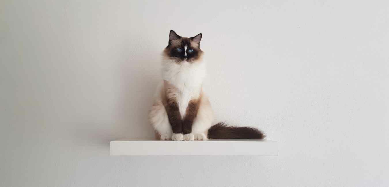 猫 ライオンカット